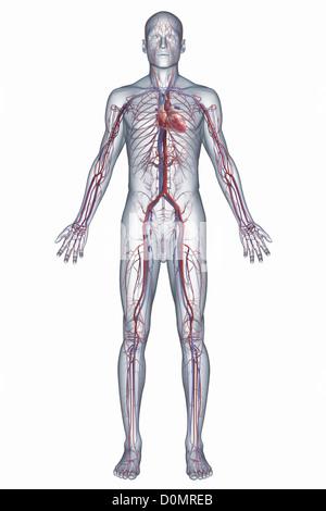 Eine Darstellung des menschlichen Herz-Kreislauf-Systems ...