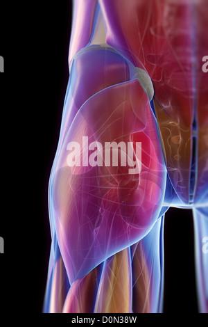 Rückansicht der Hüftbereich mit transparenten Muskeln offenbart die ...