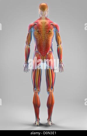 Eine transparente Hülle zeigt, dass Muskeln Skelettstrukturen Körper ...