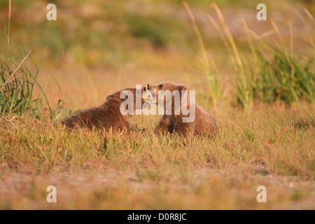 Triplett Brown oder Grizzly Bear Cubs, Lake-Clark-Nationalpark, Alaska.