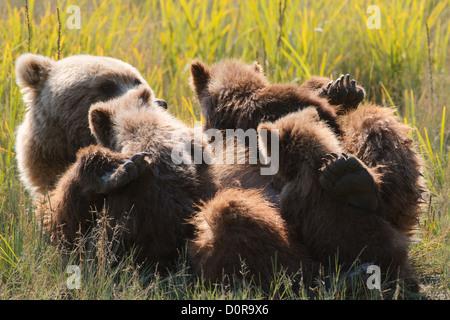 Säen mit Triplet Brown oder Grizzly Bear Frühling Cubs, Lake-Clark-Nationalpark, Alaska.