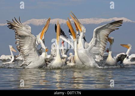 Eine Gruppe von Krauskopfpelikan (Pelecanus Crispus) in der Zucht Gefieder, Kerkini-See, Griechenland - Stockfoto