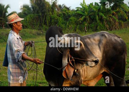 Bull, Mann, grün, Ban Pha, Phrao, Chiang Mai, Thailand, Asien Stockfoto