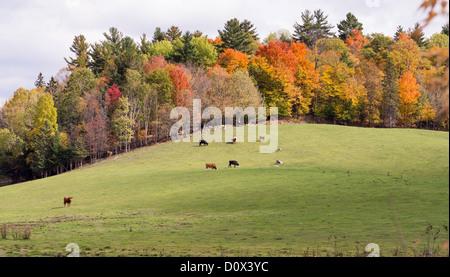 Wachposten. Ein einsamer Stier steht Wache über eine kleine Herde von Rindern auf einem sanften Hügel mit Herbstlaub - Stockfoto