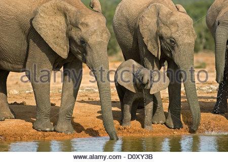 Afrikanischer Elefant (Loxodonta Africana) Herde Trinkwasser mit Stämmen am Wasserloch, Addo Elephant National Park, - Stockfoto