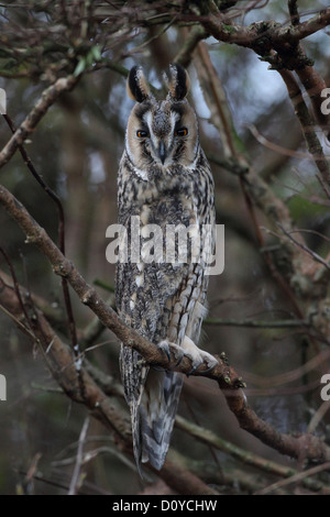 Long-eared Eule Asio Otus, Shetland, Scotland, UK - Stockfoto