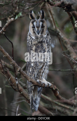 Long-eared Eule Asio Otus, Shetland, Scotland, UK - Stockfoto