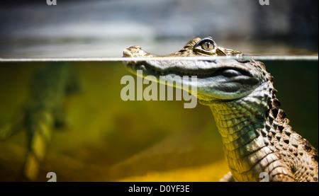 Caiman crocodilus - Stockfoto