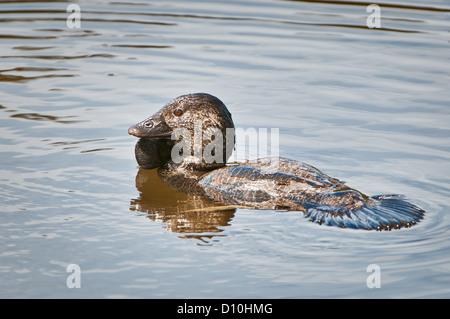 Männliche Moschus Ente schwimmen. - Stockfoto