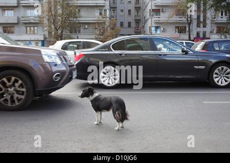 Bukarest, Rumänien, wilder Hund auf der Straße im Zentrum von Bukarest - Stockfoto