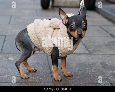 Kleinen Prager Rattler Hund 'Stile' trägt einen Mantel, der
