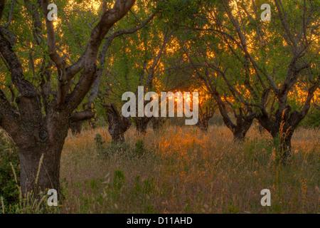 Mandel (Prunus Dulcis) Obstgarten bei Sonnenuntergang. Bouches-du-Rhône, Provence, Frankreich. Juni. - Stockfoto