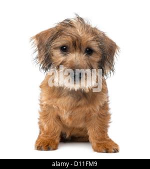 Mischlingshund Welpen, 3 Monate alt, sitzen und schaut in die Kamera vor weißem Hintergrund - Stockfoto