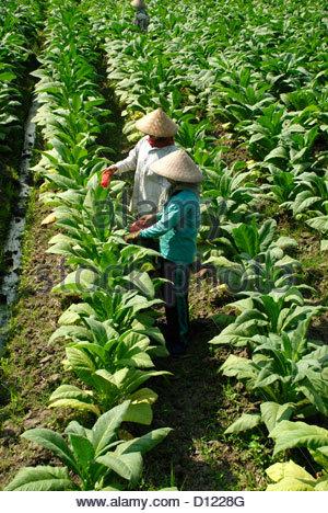 Zwei Frauen mit konischen geflochtenem Bambus Hüten im Bereich Behandlung von Reihen von Tabakpflanzen mit Insektizid - Stockfoto