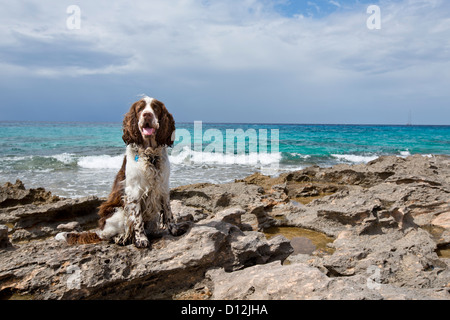 Spanien, Mallorca, English Springer Spaniel sitzt an der Atlantikküste - Stockfoto