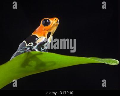 niedliche frosch im terrarium dendrobates auratus poison dart frog von regenwald panama sitzt. Black Bedroom Furniture Sets. Home Design Ideas