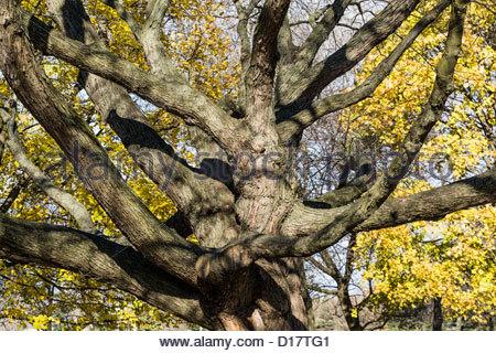 Viele verzweigte Silber Ahornbaum auf dem Martin Goodman Trail-Abschnitt des Trans Canada Trail in Toronto Ontario - Stockfoto