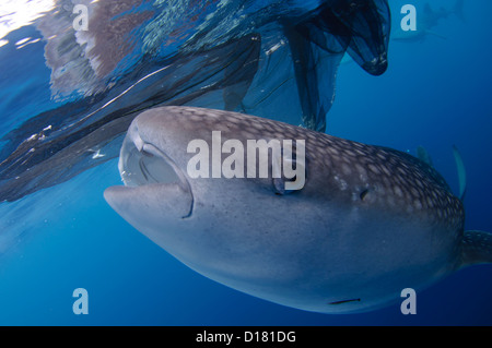 Ein Walhai Rhincodon Typus, ernährt sich von kleinen Fischen gefüttert, es von einem Fischer auf einem Bagan, Indonesien - Stockfoto