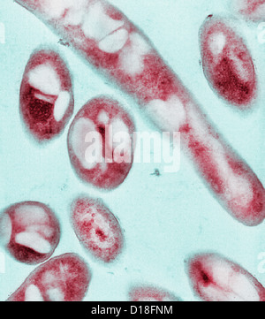 Elektron Schliffbild von Bacillus Anthracis Bakterien - Stockfoto