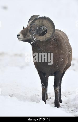Ein Erwachsenen Bighorn ram stehen in den frischen Schnee wegsehen. - Stockfoto