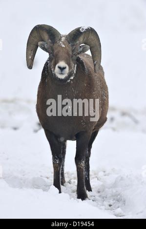 Vorderansicht des Erwachsenen Bighorn ram stehen in den frischen Schnee Blickkontakt. - Stockfoto