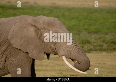 Nahaufnahme von Elefantenbulle mit Stamm gewellt-Nahaufnahme - Stockfoto