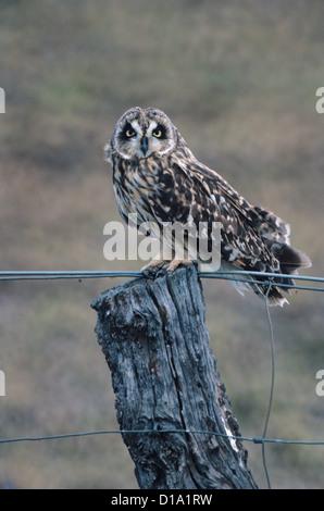 Hawaii, Pueo, Hawaii Short Eared Owl (Asio Flammeus Sandwichensis). - Stockfoto