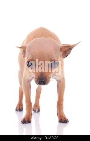Süße kleine Chihuahua-Baby suchen, isoliert auf weißem Hintergrund - Stockfoto