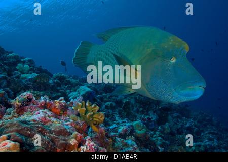 Mikronesien, Palau, Nahaufnahme eine große Napoleon-Lippfisch (Cheilnus Undulatus) über bunte Korallen. - Stockfoto