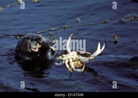 Sea Otter. Enhydra Lutris. Ernähren sich von Krabben... Monterey Bay, Pazifik, Kalifornien, USA - Stockfoto