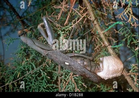 Afrikanische Gottesanbeterin, Riesen afrikanische Gottesanbeterin, Busch-Gottesanbeterin (Sphodromantis Viridis) - Stockfoto