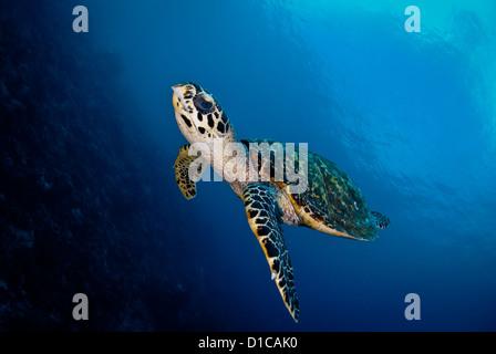 Hautnah mit einem niedlichen Karettschildkröte im Komodo National Park. Kann den ganzen Körper sehen, während sie - Stockfoto