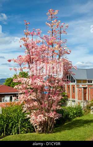 Rosa Toon Baum, Cedrela Sinensis. Rotorua, Nordinsel, Neuseeland. - Stockfoto