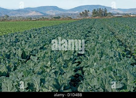Lange Reihen von Blumenkohl wachsen auf Bauernhof mit Hügeln und blauen Himmel in der Ferne - Stockfoto