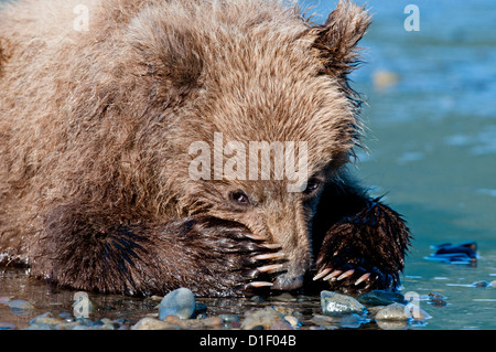 Brown Bear Cub auf Gezeiten-Ebenen; Lake-Clark-Nationalpark, AK - Stockfoto