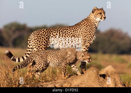 Gepard mit Cub (Acinonyx Jubatus), Phinda private Game reserve, Kwazulu Natal, Südafrika, Afrika - Stockfoto