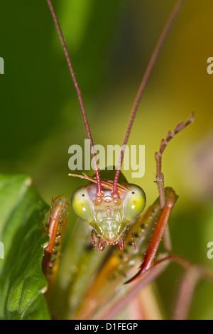 Betender Mantis Insekt, Mantis Religiosa, Bräutigam Antenne und Fuß - Stockfoto