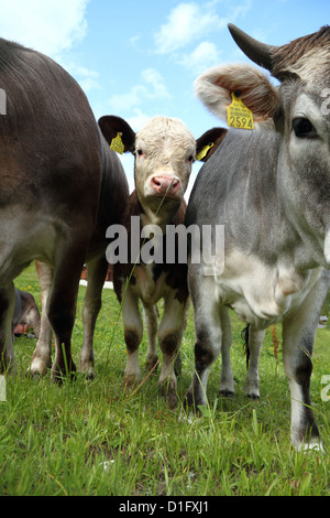 Äußerst glücklichen Kühen in den Schweizer Alpen, Schweiz - Stockfoto