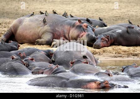 Eine Herde von Flusspferde ruhen vom Rand des Flusses, einige in Oxpeckers abgedeckt - Stockfoto