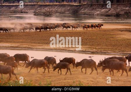 Eine Herde Büffel in der Abendsonne - Stockfoto