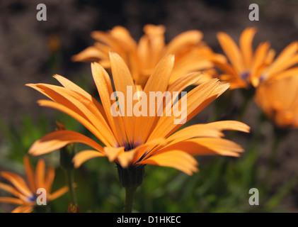Pfeiffersches Kap-Ringelblume - Stockfoto
