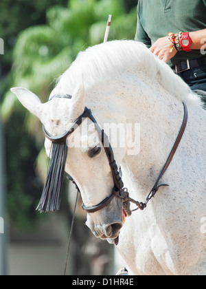 Porträt von andalusischen weißen Pferd in Bewegung Sonnentag. Spanien - Stockfoto