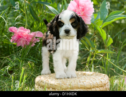 Young English Cocker Spaniel Hund im Garten - Stockfoto