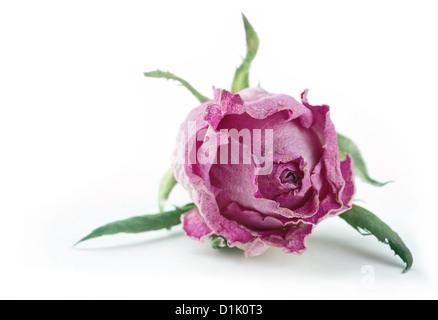 Einzelne verblasste trocken rosa Rose isoliert auf weißem Hintergrund - Stockfoto
