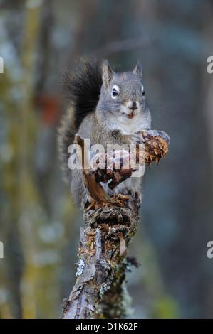 Rotes Eichhörnchen (Tamiasciurus Hudsonicus) Essen Kegel Pinienkerne, Missoula, Montana - Stockfoto