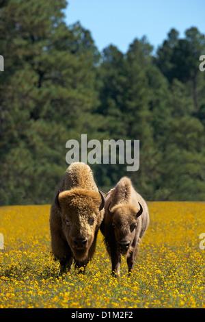 Weißen Bison oder Büffel, Bearizona Wildlife Park, Williams, Arizona, USA - Stockfoto