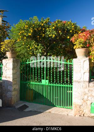 Sóller, Mallorca, Balearen, Spanien. Fruchtung Zitronenbaum (Citrus Limon) hinter typischen grünen Eisentor. - Stockfoto