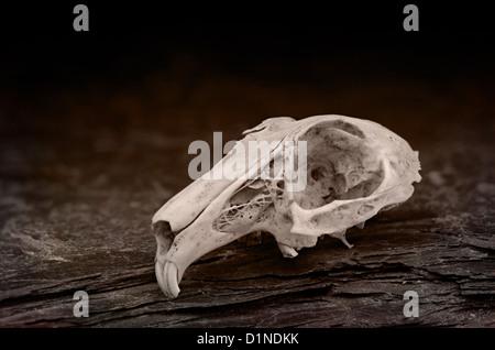 verwitterte Schädel von Kaninchen mit Naht Linie und Schädel Knochen ...