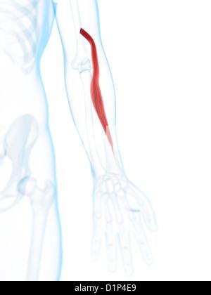 Menschlichen Muskel des Armes (Brachioradialis), Illustration ...