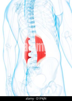 Untere Rückenmuskulatur Stockfoto, Bild: 56149380 - Alamy